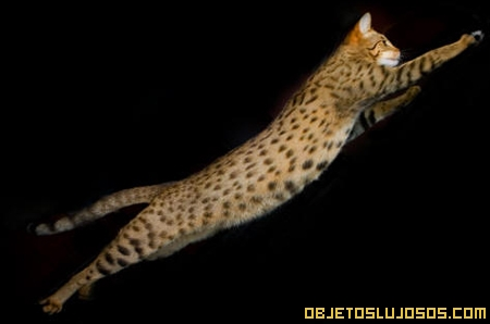 Gato Ashera 2