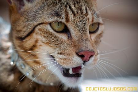 Gato Ashera 4